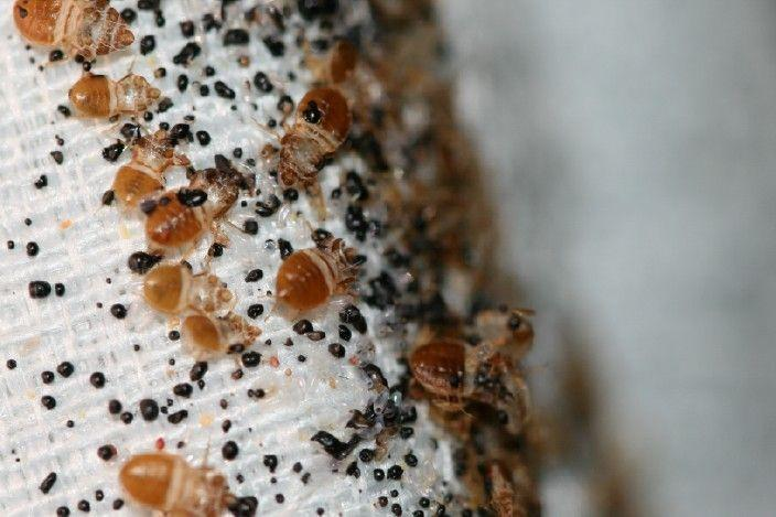 Bedbugs and their feces (the little black dots) on a mattress.