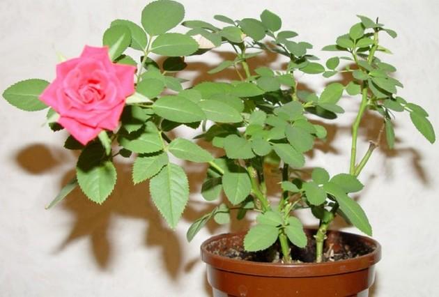Домашние розы в горшках уход почему сбрасывает листья и чернеют бутоны