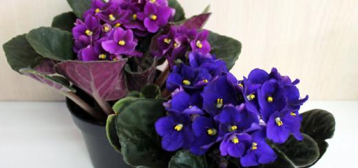 домашние цветы приносящие в дом счастье и благополучие