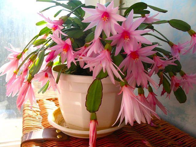 Секрет пышного цветения комнатных растений!