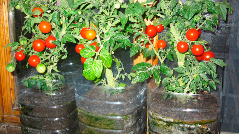 Помидоры на балконе: выращивание пошагово, как вырастить в 100