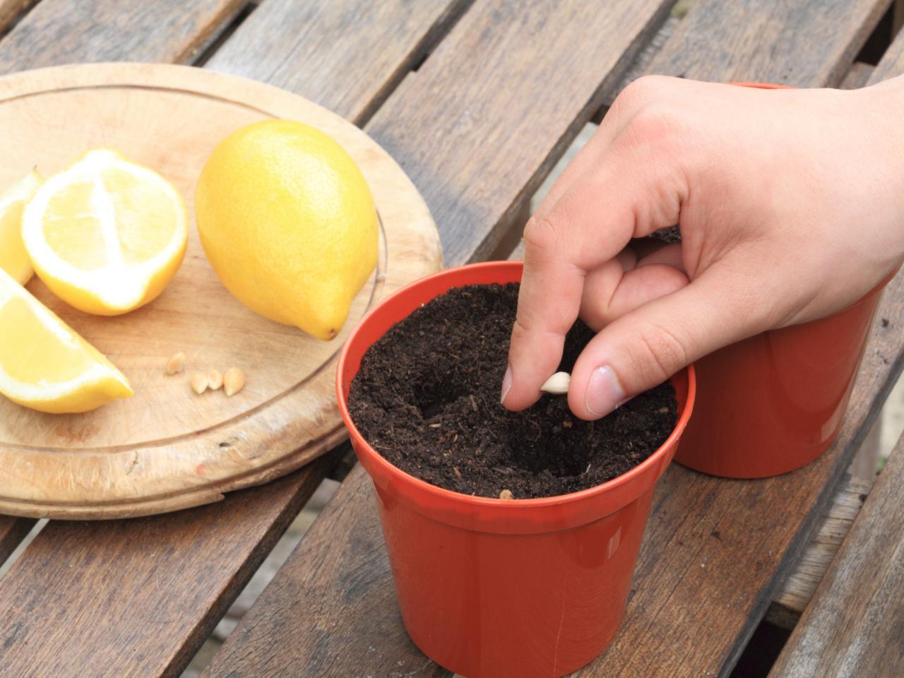 Как вырастить лимон в домашних условиях чтобы были плоды