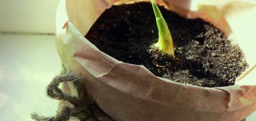 как вырастить имбирь из корня в домашних условиях