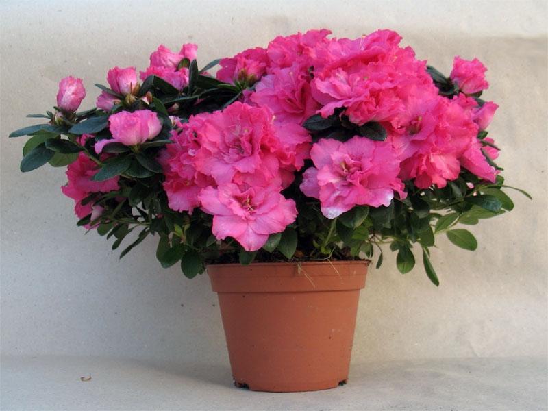 Цветок азалия уход в домашних условиях фото