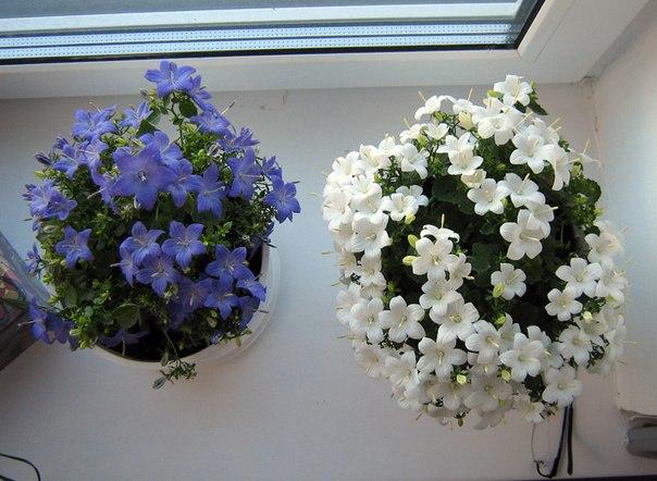 цветок жених и невеста уход в домашних условиях фото