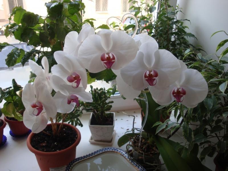 Как ухаживать за орхидеями-фаленопсис в домашних условиях в горшке