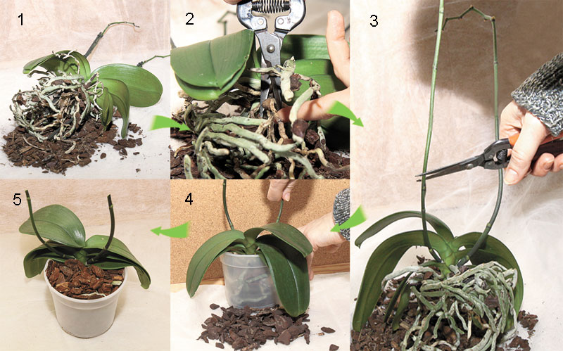 Орхидеи цветы как ухаживать за