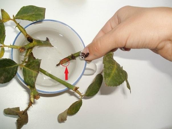 как укоренить черенки розы в домашних условиях из букета