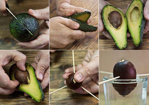 Как посадить авокадо с косточки