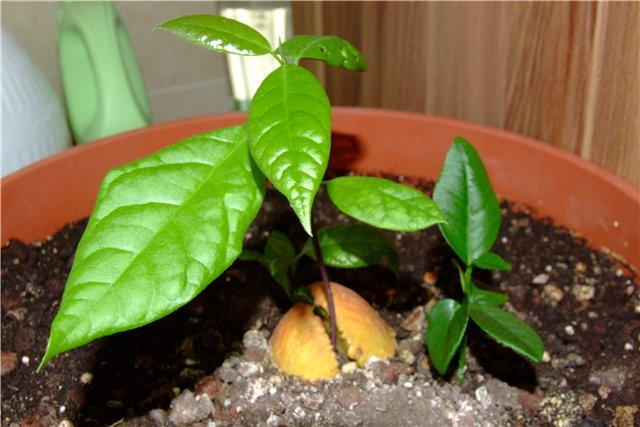 как посадить авокадо из косточки в домашних условиях