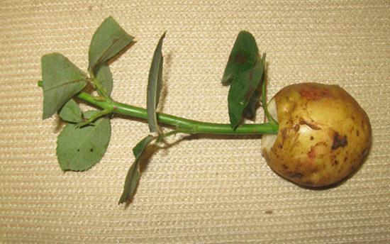 Сажаем розы черенками летом 851