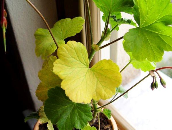 герань желтеют листья что делать