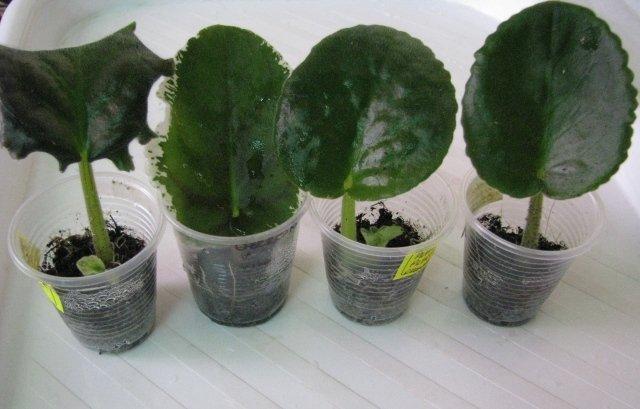 Размножение фиалок листом в домашних условиях фото пошагово