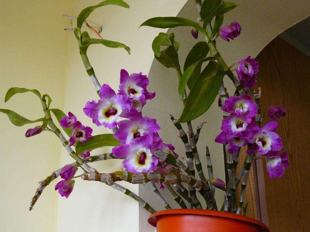 орхидея дендробиум уход в домашних условиях