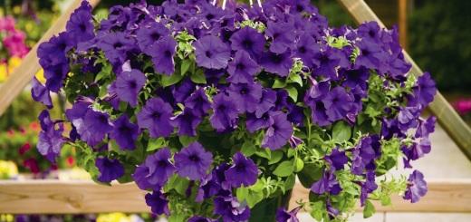 цветы петуния посадка и уход в домашних условиях