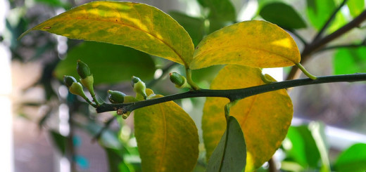 почему желтеют листья у лимона комнатного что делать